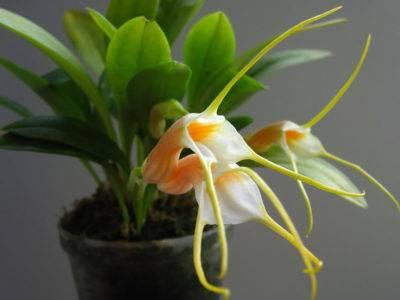 Масдеваллия: топ секреты ухода за орхидеей, виды с фото