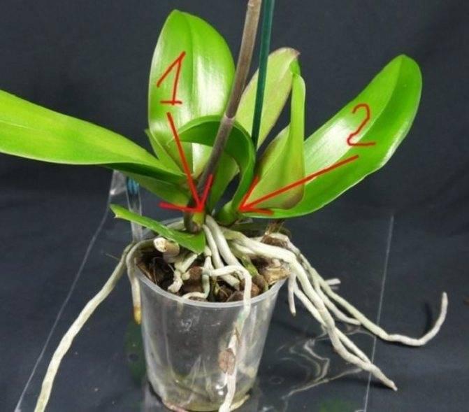 Рассказываем, как вырастить орхидею из черенка в домашних условиях