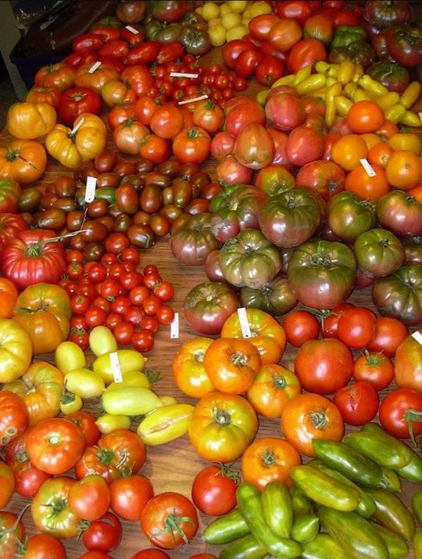 Лучшие сорта томатов для теплицы в подмосковье