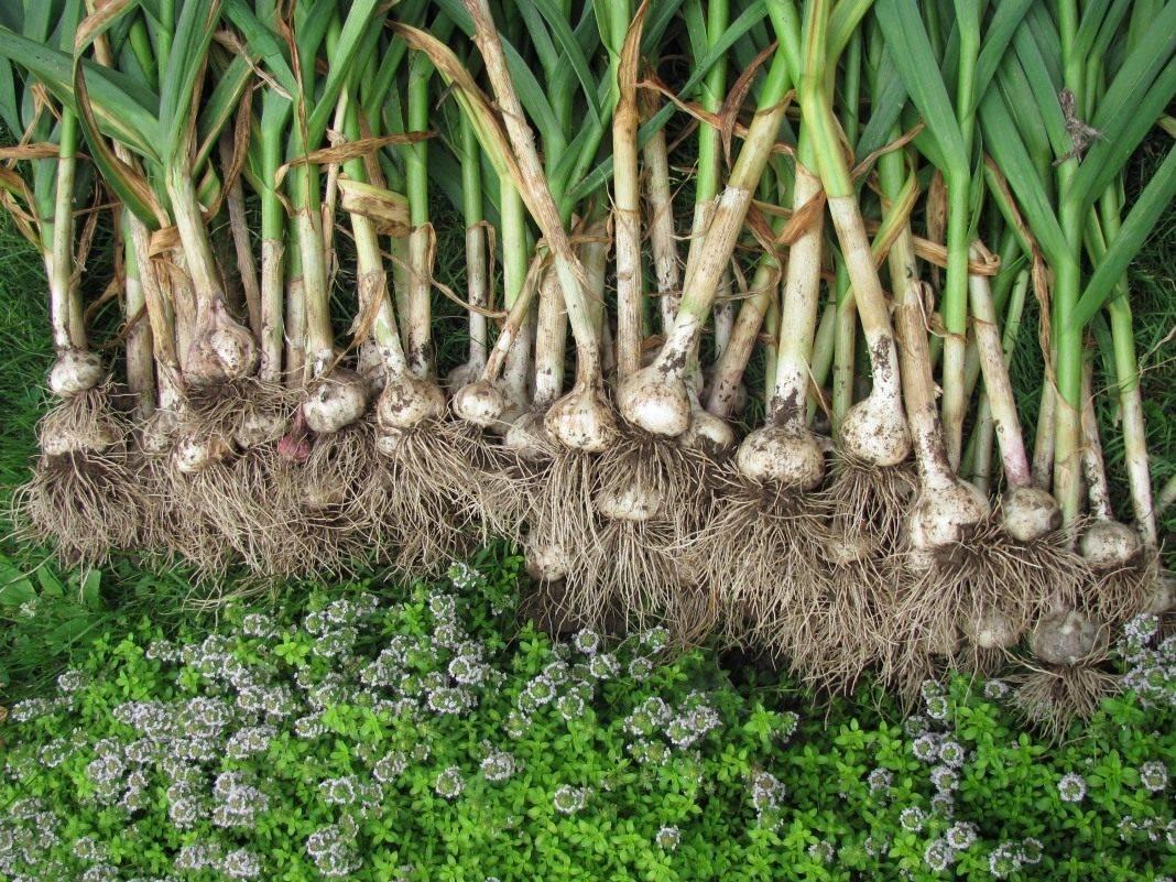 Посадка чеснока - как сажать яровой, озимый чеснок, бульбочками
