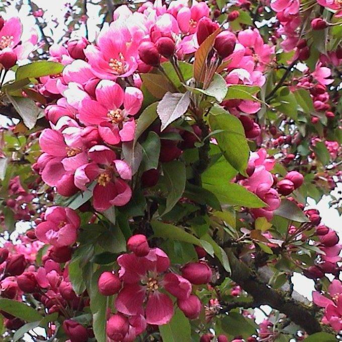 Яблоня «малиновка»: характеристика, агротехника выращивания