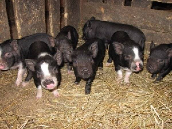Свиньи крупной белой породы