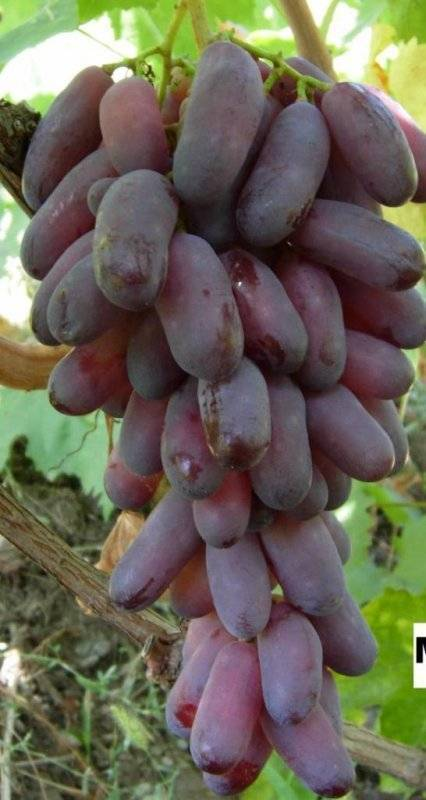 Сорт винограда «маникюр фингер»
