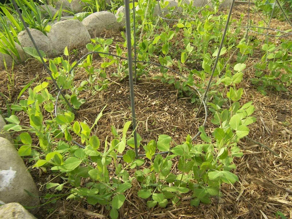 Руководство по выращиванию идеального гороха: посадка и уход в открытом грунте, как подвязать
