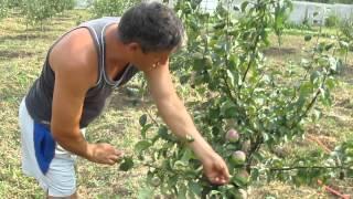 Сколько лет живет яблоня: срок жизни дерева, сколько плодоносит и описание