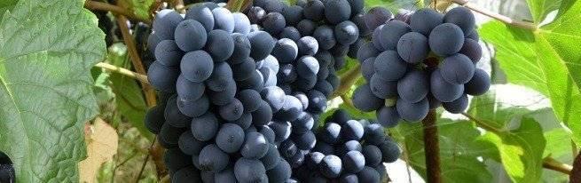 ᐉ выращивание винограда в сибири - виноград - roza-zanoza.ru