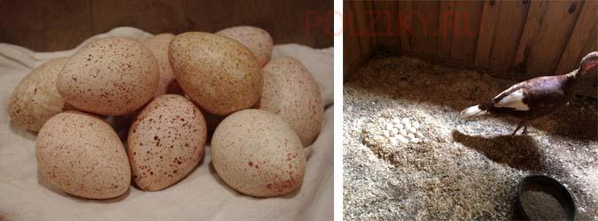 О индюшках: сколько дней сидят на яйцах и когда начинают высиживать