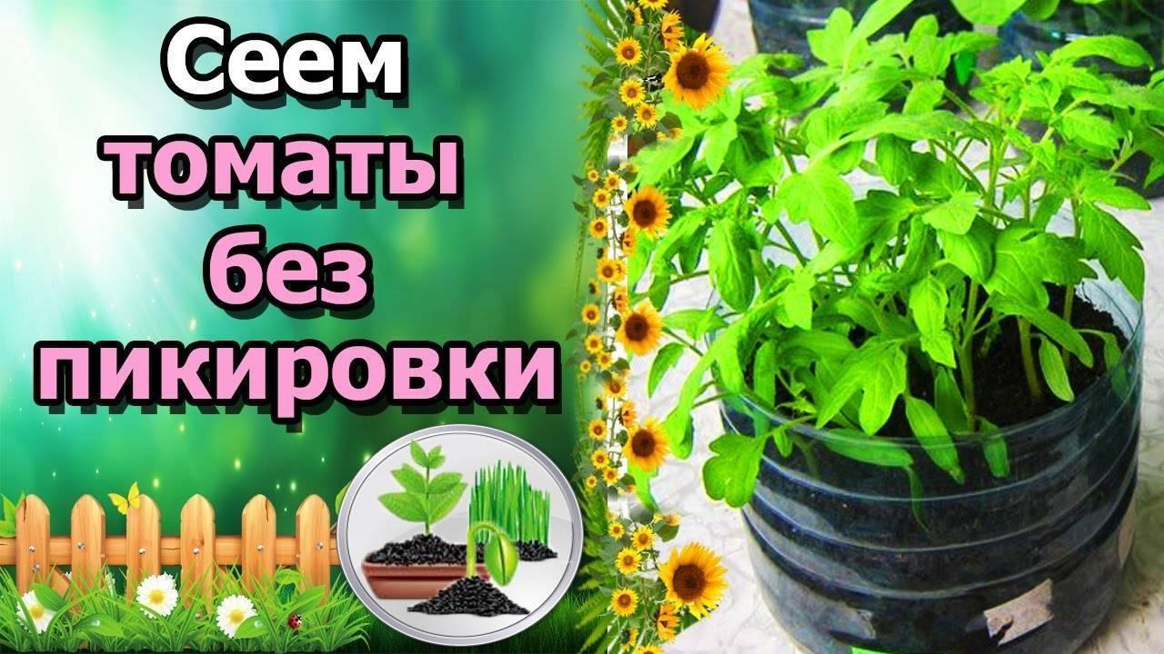 Как вырастить рассаду томатов без земли: подготовка семян, выбор емкостей и материалов, уход и пересадка