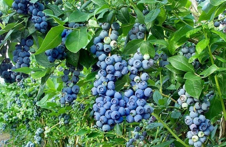 Голубика на садовом участке. описание, сорта, выращивание. посадка и уход. фото — ботаничка.ru