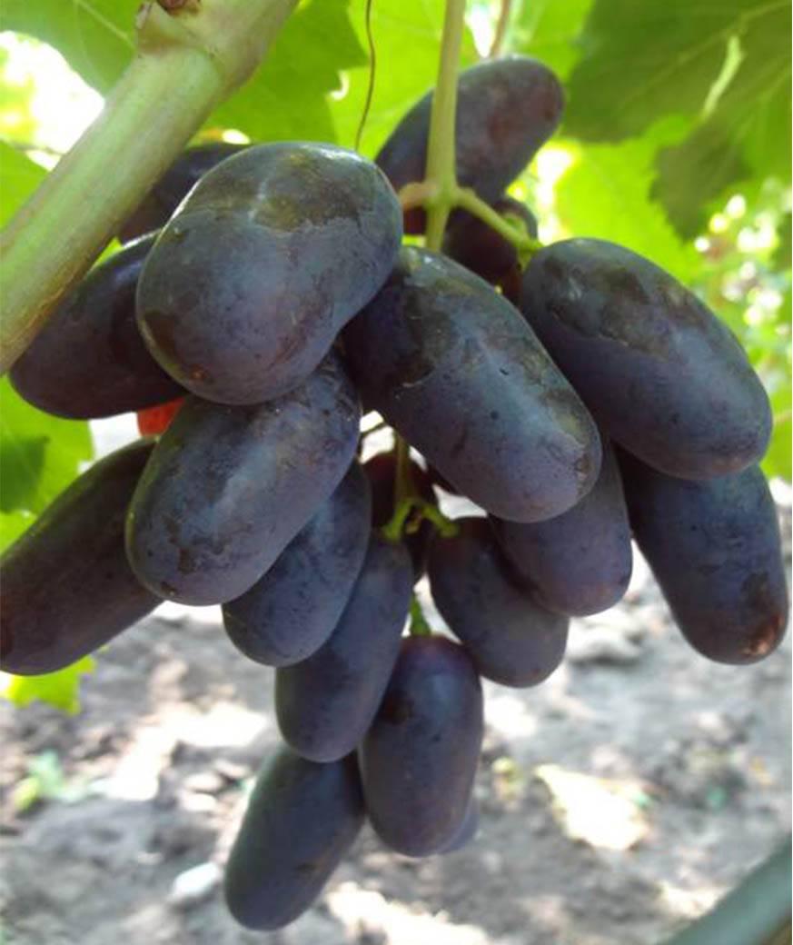 Виноград дамские пальчики или хусайне белый — характеристики сорта, агротехника, реальные отзывы