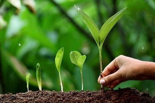 Можно ли вырастить черемшу на даче