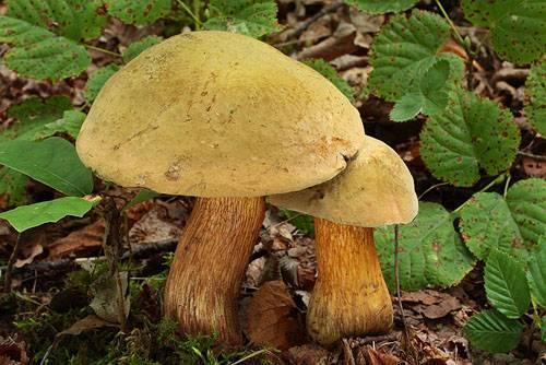 Гриб дубовник фото, описание, где растет и когда собирать.