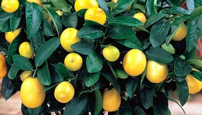 Как вырастить лимон в горшке на подоконнике