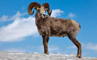 Алтайский горный баран красной книги (аргали): описание, фото