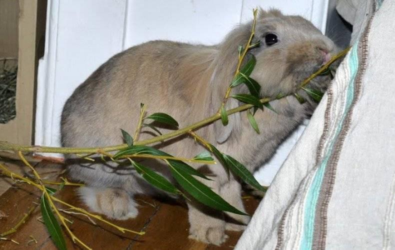 Ветки в рационе кроликов: какие можно давать, а какие нельзя?