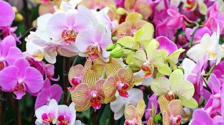 Цветы, похожие на орхидею: виды и сорта цветка с фото, названия родственников растения, чем похожи цветы - длинными и узкими листьями или крупными цветками