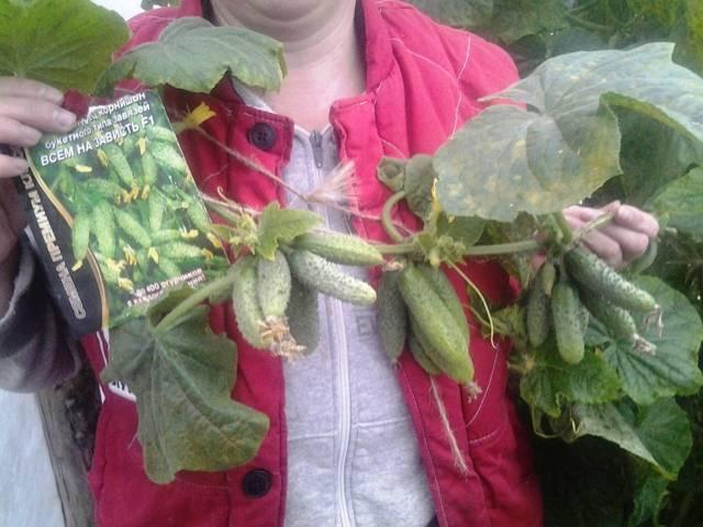 Огурец всем на зависть f1: отзывы огородников, фото, урожайность сорта
