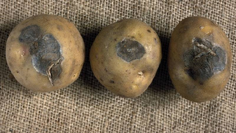 Черная ножка картофеля