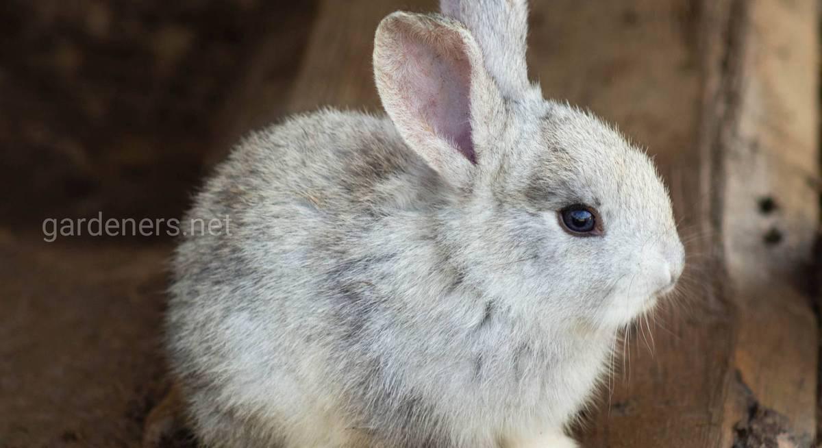 Прививать ли декоративных кроликов, от чего