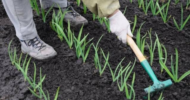 Подкормка чеснока – как получить крепкую репку и перо?