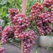 Выращивание винограда как бизнес - бизнес-план с расчетами