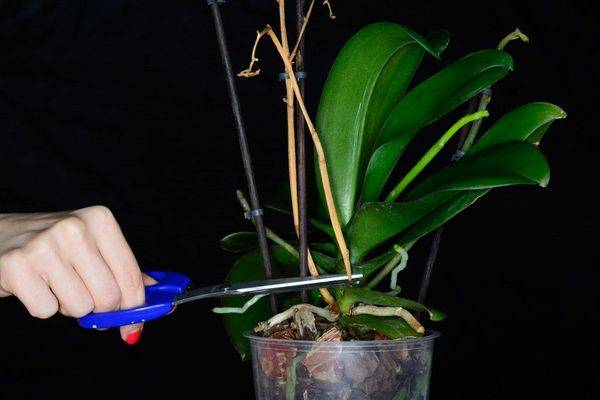Как спасти орхидею без корней, листьев и точки роста, или с чем-то одним: как в домашних условиях реанимировать вялый цветок, что делать, когда побег отвалился? selo.guru — интернет портал о сельском хозяйстве