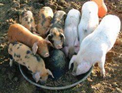 Как и чем кормить поросят, чтобы они быстро набирали вес