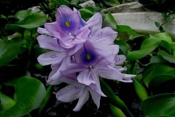 Водный гиацинт (эйхорния): особенности выращивания в пруду или аквариуме