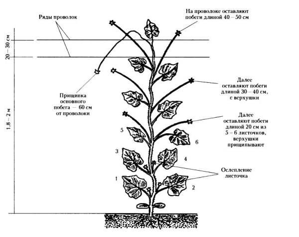 Как формировать баклажаны в теплице и открытом грунте: инструкция + видео