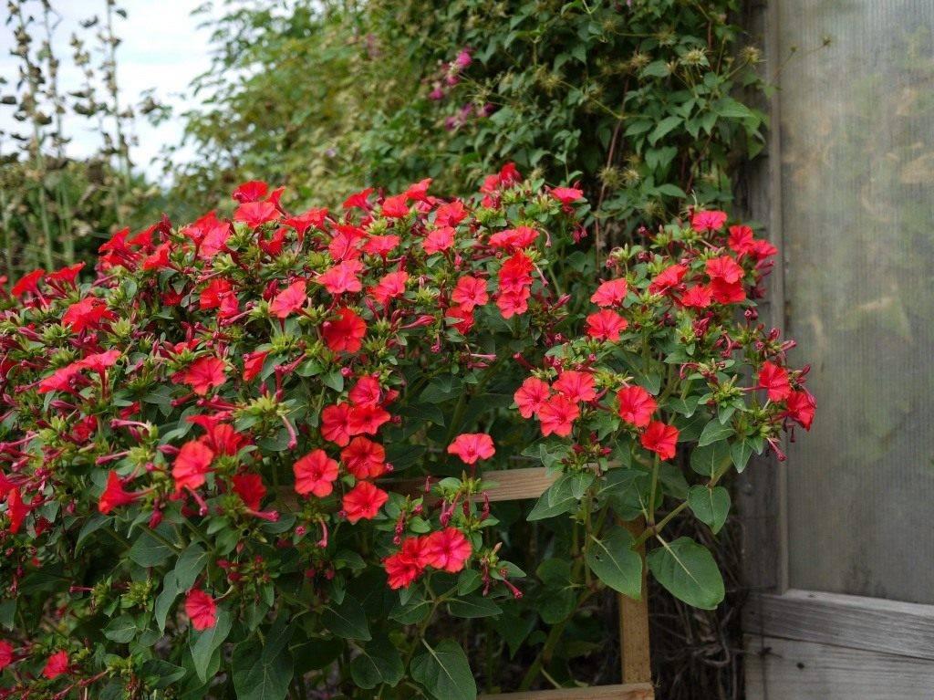 Цветы ночная красавица: описание, особенности выращивания и ухода, фото - sadovnikam.ru