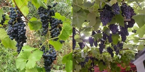 Гибрид винограда аметистовый: описание и характеристика вкусовых качеств, особенности выращивания и ухода за гибридом