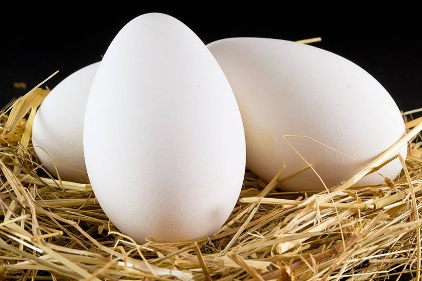 Когда начинают нестись гуси и сколько яиц они могут снести?