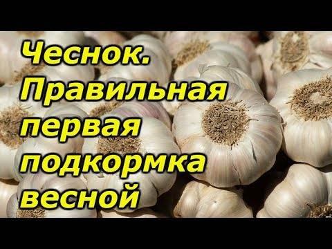 Выбор удобрения для ярового и озимого чеснока