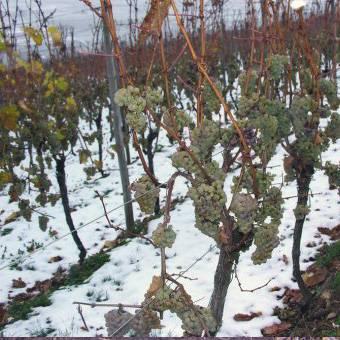 Неукрывные сорта винограда (не требующие укрытия на зиму): обзор лучших (для средней полосы россии, урала, черноземья), зимостойкие сорта без косточек