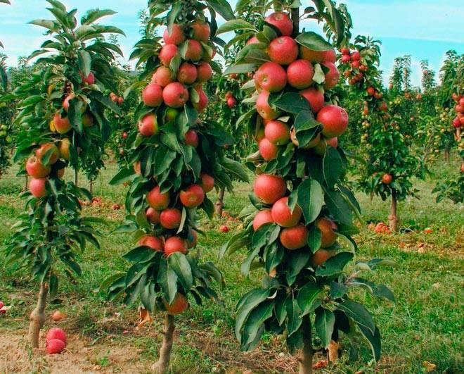 Обрезка колоновидных яблонь: видео для начинающих, схема