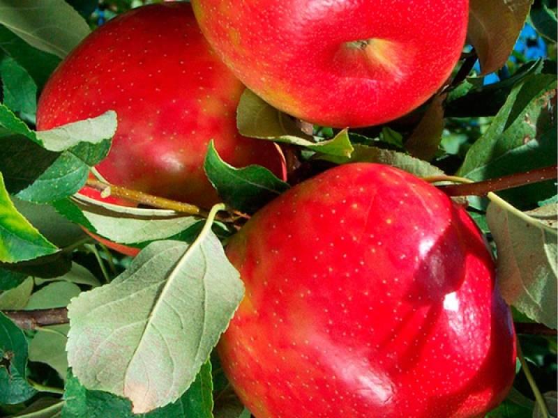 Сорт яблок хоней крисп (хани крисп) описание, фото, отзывы