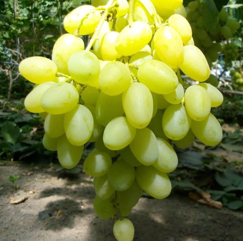 Виноград низина – прекрасный вариант любительского сорта для новичков
