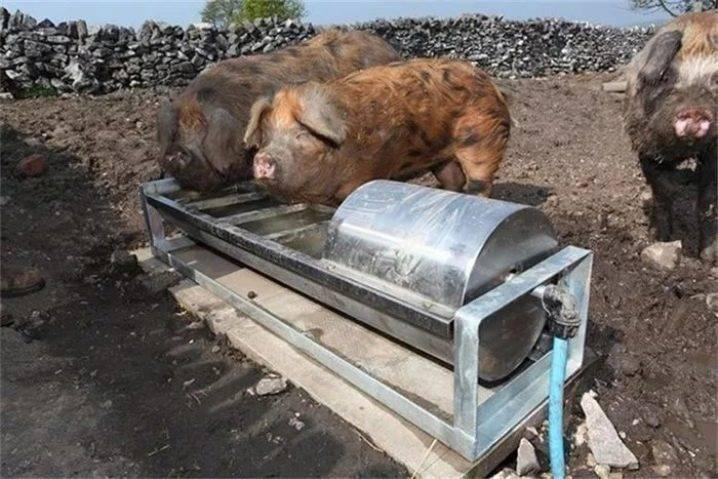 Поилки для свиней своими руками: чертежи, оригинальные идеи с фото и видео
