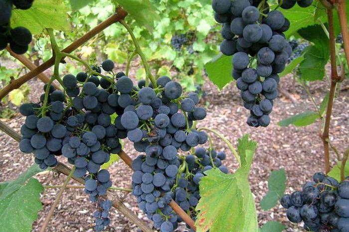 Виноград красень - мир винограда - сайт для виноградарей и виноделов