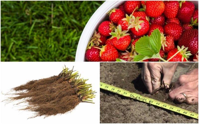 Выращивание клубники фриго: описание и характеристика метода, особенности ухода, фото