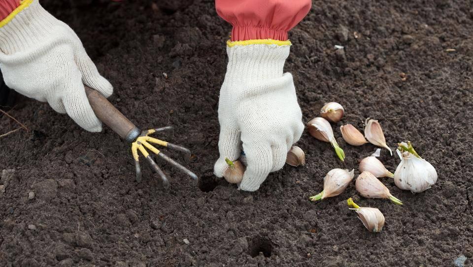 Когда и как сажать чеснок под зиму?