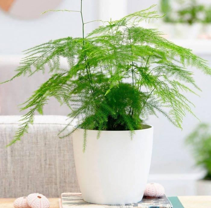 Уход за аспарагусом в домашних условиях — размножение цветка