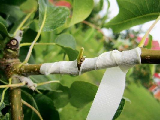 Прививка плодовых деревьев летом и весной: описание самых популярных видов (фото & видео)