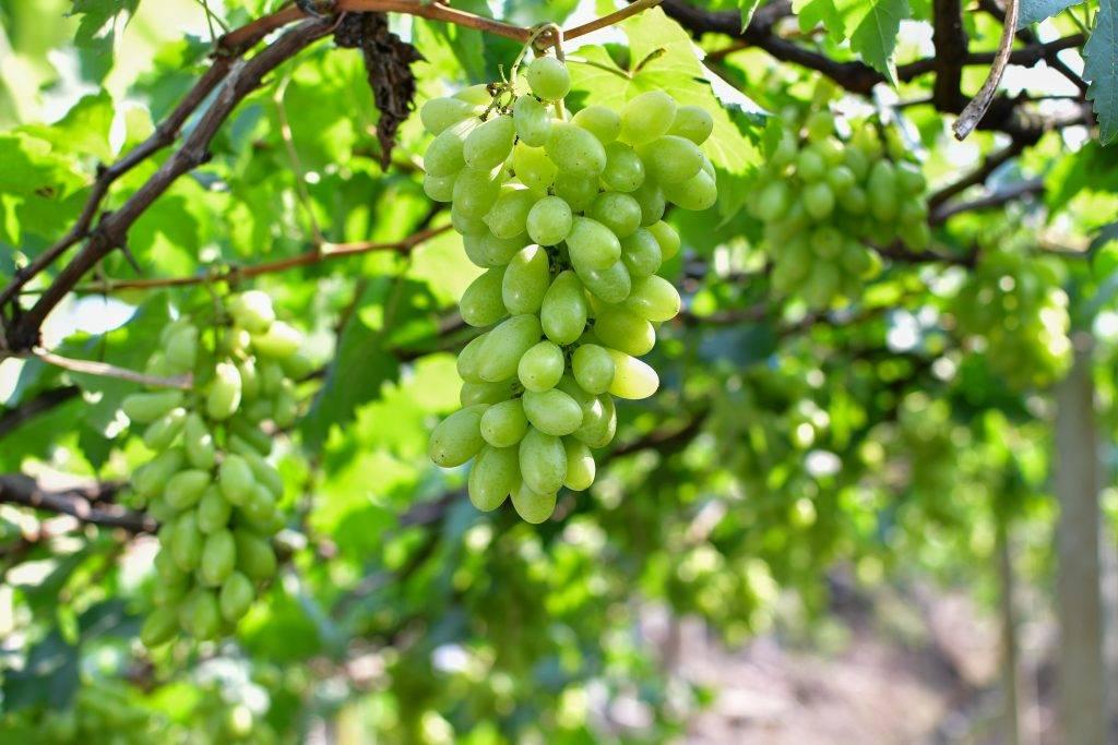 Выращивание винограда сорта виктор: изучаем тщательно