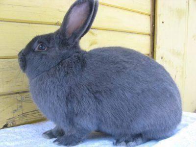 Порода кроликов венский голубой: особенности разведения в домашних условиях