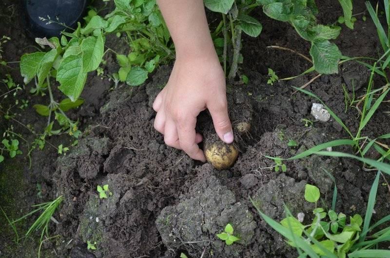 Когда можно срезать ботву у картофеля после цветения и зачем это нужно