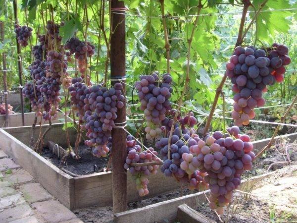 Виноград низина: описание сорта, подробные характеристики и его особенности, фото selo.guru — интернет портал о сельском хозяйстве