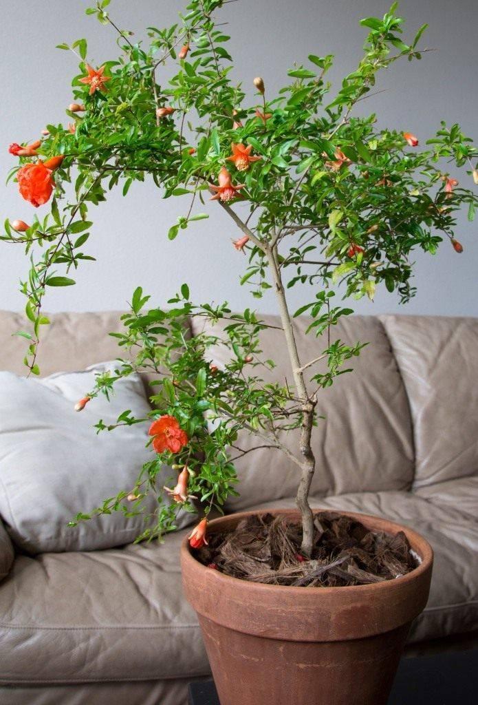 Выращивание граната в домашних условиях из косточки – уход за деревом