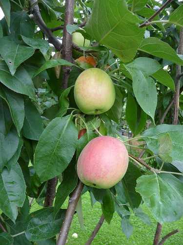 Яблоня аркадик: описание, фото, отзывы