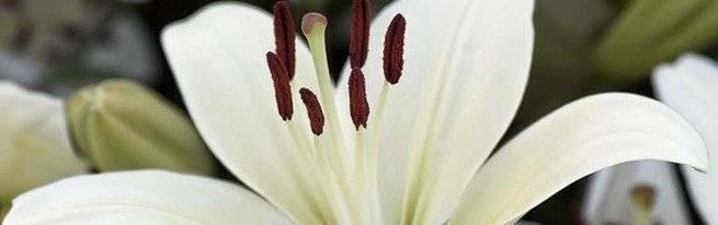 Пересадка лилий осенью на другое место: когда и как правильно пересаживать
